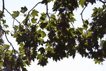 Maple Leaves №4215