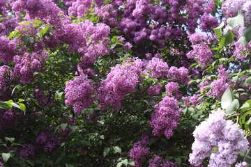 Lilac №4835