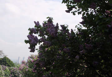 Lilac №4812