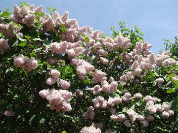 Lillà di fioritura №4081