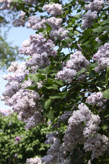 Lilac clusters №4821