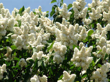 A lot of white lilac №4077