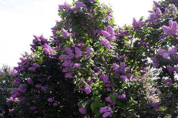 Violent flowering of lilac №4813