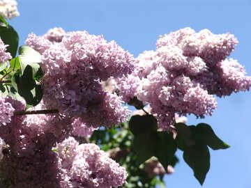 Sprig of Lilac №4101