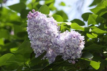 Lilac №4819