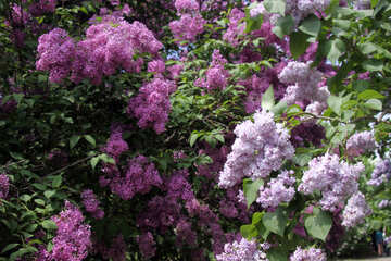Lilac in colour №4834