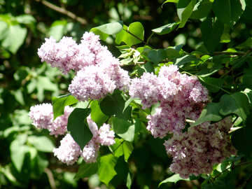 Lilacs bloomed in the spring №4073