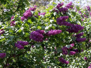 Violet lilac №4822