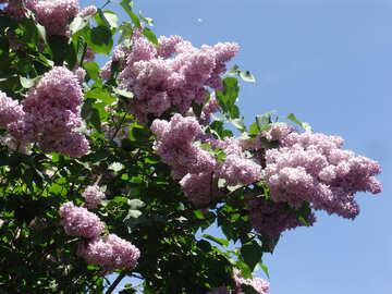 Lilac №4103