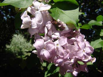 Flowers lilac terry. Macro. №4098