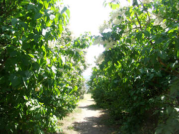 A narrow path in the lilac bushes №4086