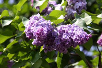 Lilac №4816