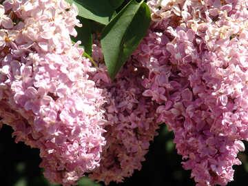 Lilac twigs №4079