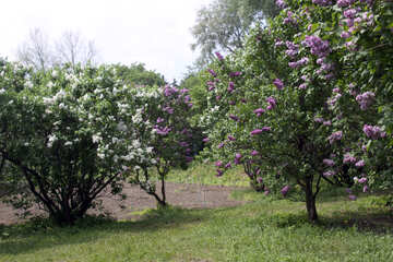 Lilac bushes №4772