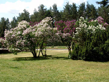 Lilac bushes in bloom. №4127