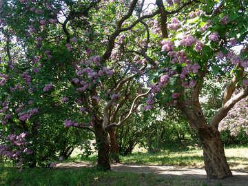 Foresta lilla №4075