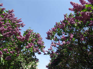 Lilac bushes blooming in the sky №4096