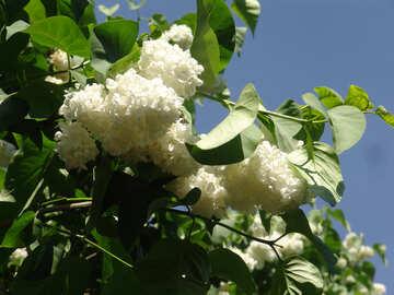 White Lilac №4097