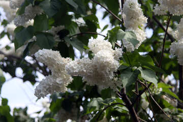 White lilac №4825