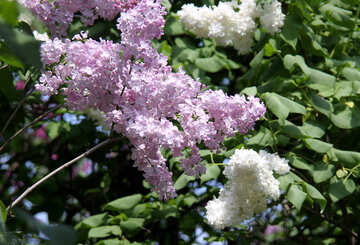 Lilac and white lilac №4830