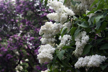 White lilac against the violet №4831