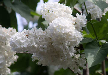 Lilac white it is large №4826