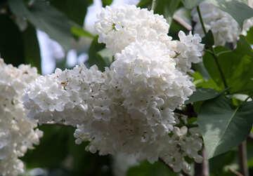Lila Weiß ist es groß №4826