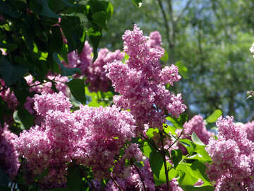 Blooming lilacs №4100