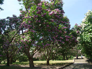 High blooming lilacs in the park №4074