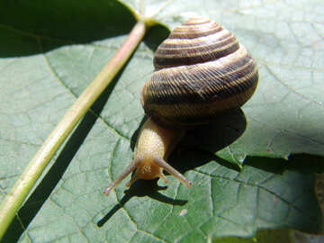 Snail crawling on the grape sheet №4259