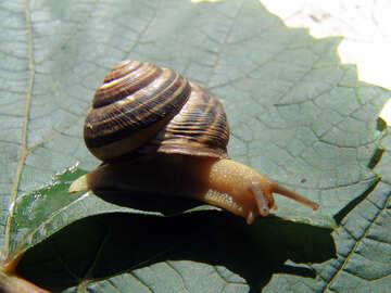 Snail on grape leaf №4260