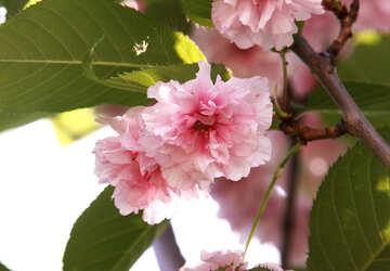È i fiori delicato-dentellare di una fine della ciliegia orientale in su №4809