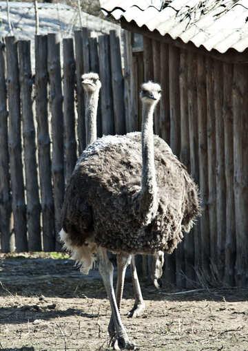 Ostriches №4624