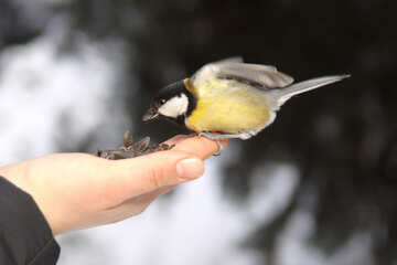 Titmouse  eating from  hand №4235