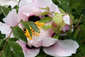 Flower and peony bud №4803