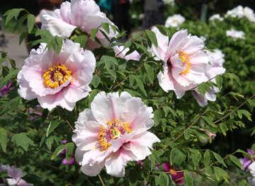 Peony blossoming №4793