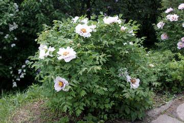 Treelike peony. A bush №4802