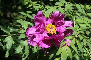 Violet peony №4781