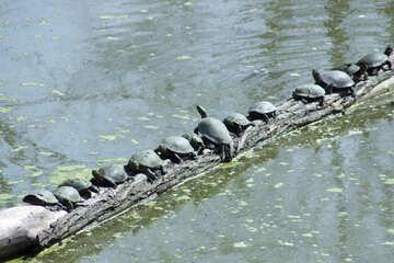 Many turtles №4603