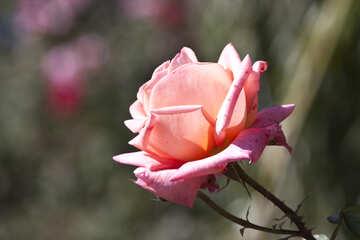 Розовая роза №4210