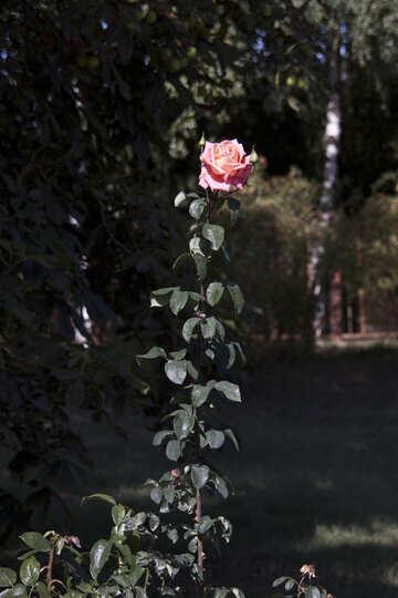 High Rose №4227