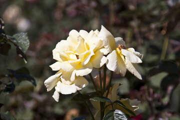 Rosa selvaggia №4202