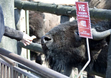 Man fed bison at the zoo. Plate.Prohibition. №4667