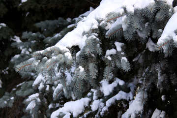 Firs covered with snow №4165