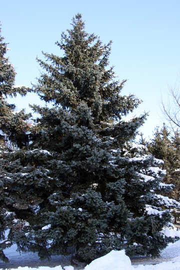 High tree in snow №4167