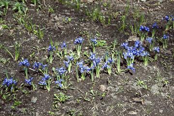 Dwarf Iris №4563