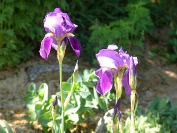 Iris Flower №4105