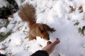 Squirrel  winter №4132