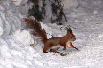 Scoiattolo in cerca di noci sotto la neve №4136