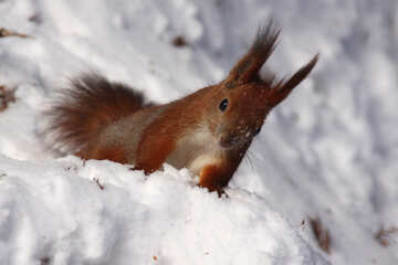 Squirrel looks out of snowdrift №4139